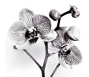 Paperiservetti Orkidé 20kpl 33cm x 33cm